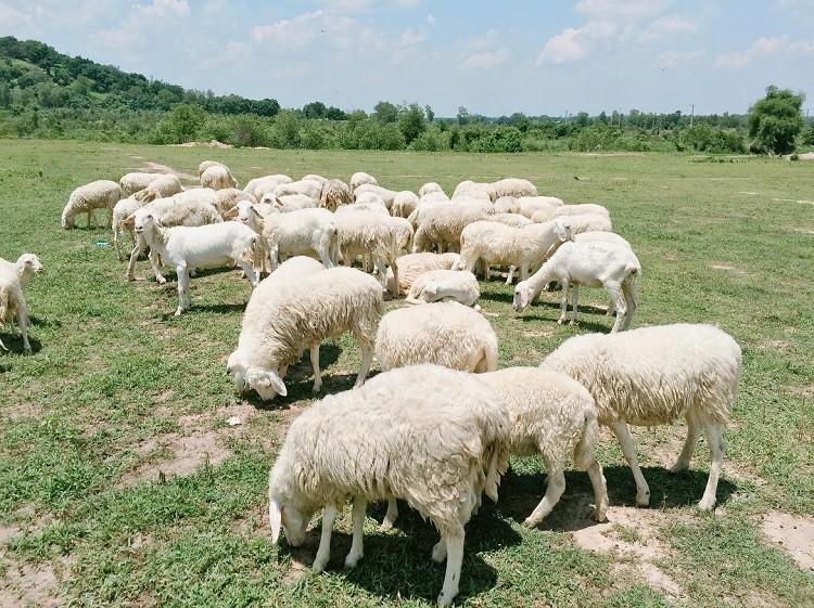 Công dụng của nhau thai cừu không phải ai cũng biết